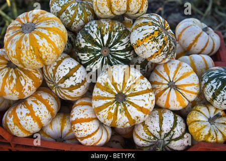 Harvested Lil' Tiger Stripe Pumpkins, - Stock Photo