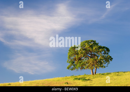 Tree and cloud, San Benito County, central California. - Stock Photo