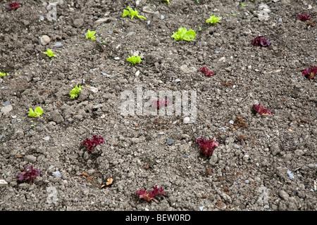 Rows of lettuce seedlings growing in soil - Stock Photo