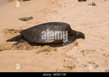 Hawaiian green sea turtle basking on the beach, island of Oahu, Hawaii - Stock Photo