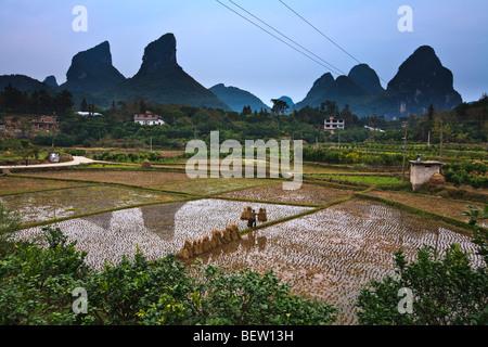 Woman balancing rice stalks as she walks on the berm between rice paddies. Yangshuo, China - Stock Photo