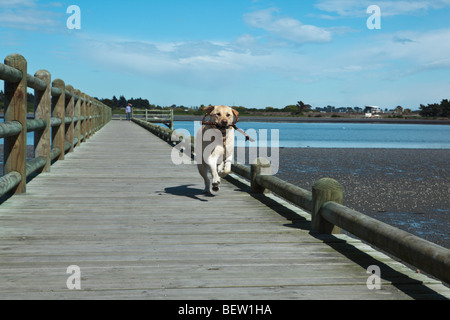 Labrador running along a jetty - Stock Photo