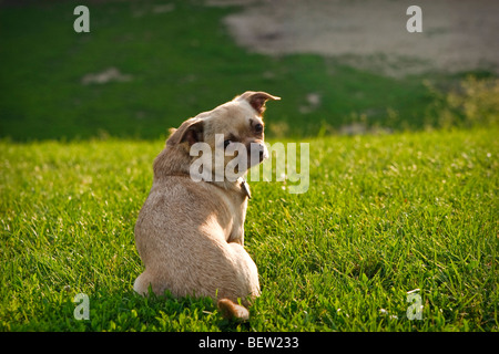 Pug-Chihuahua mixed breed dog sitting on the grass - Stock Photo