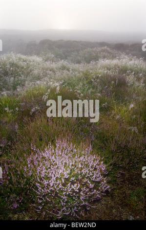 Ling Heather, Calluna vulgaris, growing on a misty Scottish moor at sunrise. - Stock Photo