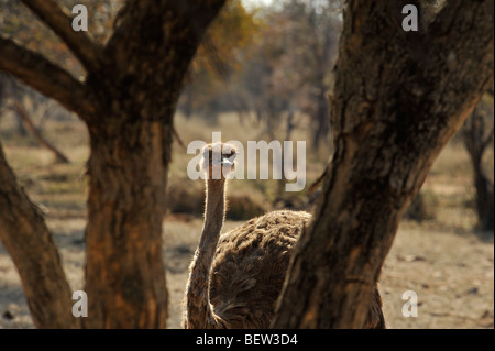 Limpopo, South Africa, female, Ostrich, Struthio camelus, bird, animal behind tree, background - Stock Photo