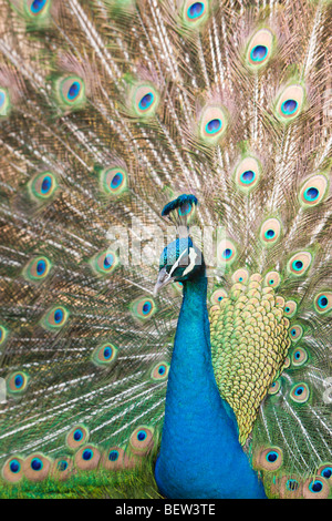Blue Peafowl, Pavo christatus - Stock Photo
