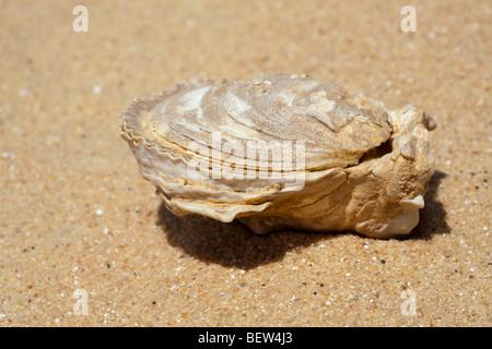 Fossil Shells in Desert, Bahariya Oasis, Libyan Desert, Egypt - Stock Photo