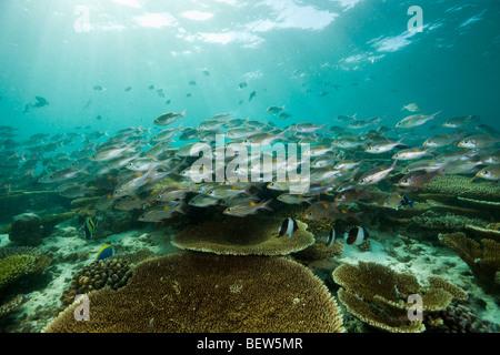 Glowspot Emperor over Table Corals, Gnathodentex aurolineatus, Ellaidhoo House Reef, North Ari Atoll, Maldives - Stock Photo