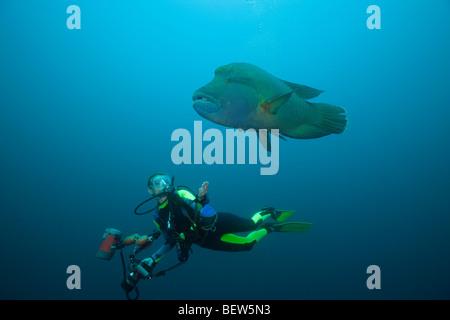Diver and Napoleon Wrasse, Cheilinus undulatus, Fishhead, North Ari Atoll, Maldives - Stock Photo