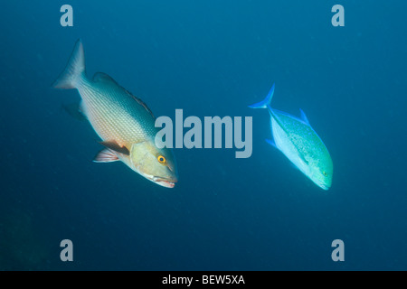 Red Reef Snapper and Bluefin Trevally, Lutjanus bohar, Caranx melampygus, Himendhoo Thila, North Ari Atoll, Maldives - Stock Photo