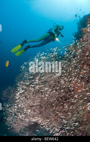Black Coral surrounded by Pigmy Sweepers, Parapriacanthus sp., Antipathes dichotoma, Maya Thila, North Ari Atoll, - Stock Photo