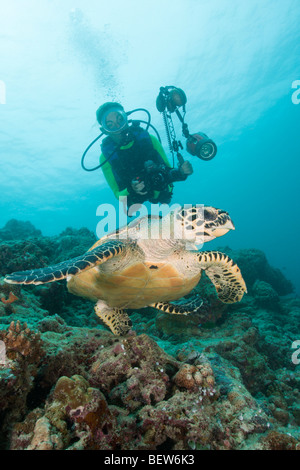 Diver and Hawksbill Turtle, Eretmochelys imbricata, Kandooma Caves, South Male Atoll, Maldives - Stock Photo