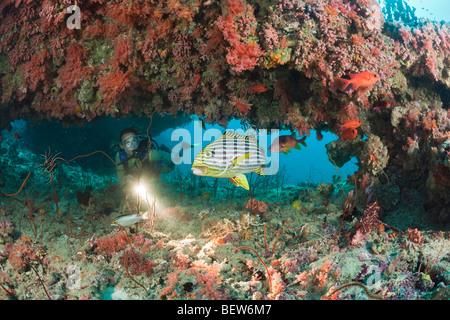 Oriental Sweetlips in Coral Reef, Plectorhinchus vittatus, Kandooma Thila, South Male Atoll, Maldives - Stock Photo