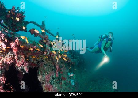 Anthias at Kuda Giri Wreck, Pseudanthias squamipinnis, South Male Atoll, Maldives - Stock Photo