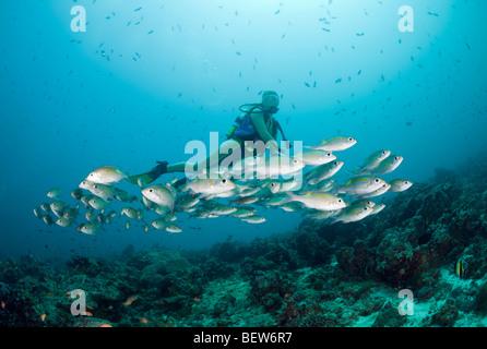 Diver and Glowspot Emperor, Gnathodentex aurolineatus, Medhu Faru Reef, South Male Atoll, Maldives - Stock Photo