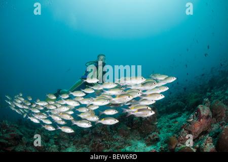 Glowspot Emperor and Diver, Gnathodentex aurolineatus, Medhu Faru Reef, South Male Atoll, Maldives - Stock Photo