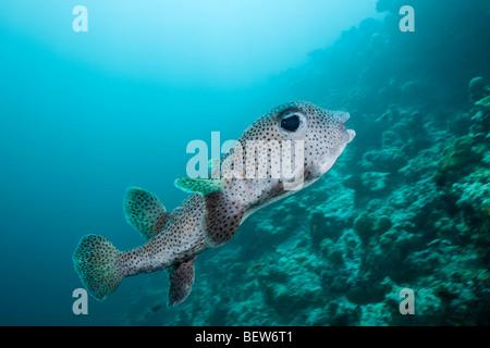 Common Porcupinefish, Diodon hystrix, Medhu Faru Reef, South Male Atoll, Maldives - Stock Photo