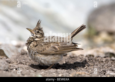Crested Lark (Galerida cristata) perched on the ground displaying - Stock Photo