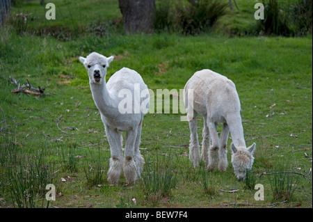 ALPACAS, TASMANIA, AUSTRALIA - Stock Photo