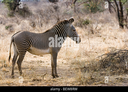 Grevy zebra (Equus grevyi), Kenya, Africa, side view - Stock Photo