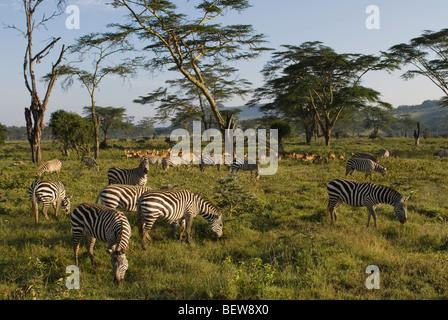 Herd of plains zebras (Equus quagga) and Impalas (Aepyceros melampus), Kenya, Africa - Stock Photo