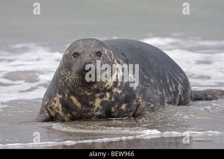 gray seal, grey seal, Halichoerus grypus, full shot - Stock Photo