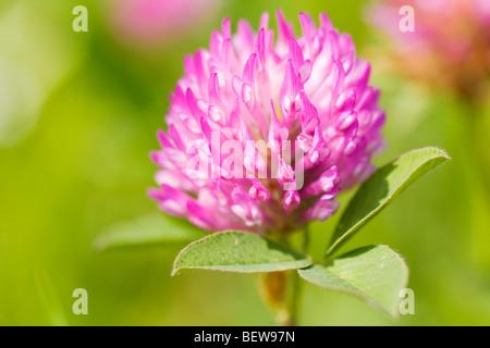 Red Clover (Trifolium pratense), close-up - Stock Photo