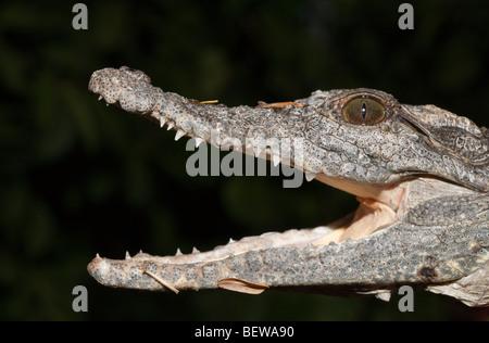 Nile Crocodile, Crocodylus niloticus, Abu Simbel, Egypt - Stock Photo