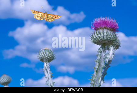 Dark Green Fritillary (Argynnis aglaia) flying to a scotch thistle, close-up - Stock Photo