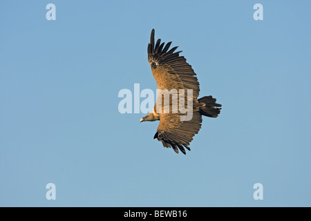 Griffon Vulture (Gyps fulvus) in mid-air, side view - Stock Photo