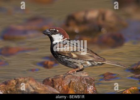 Spanish Sparrow (Passer hispaniolensis) sitting on waterside stone, side view - Stock Photo