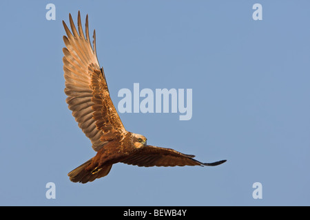 Western Marsh Harrier (Circus aeruginosus) in mid-air, view from below - Stock Photo