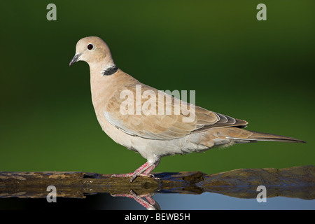 Eurasian Collared-Dove (Streptopelia decaocto) at watering place, side view - Stock Photo