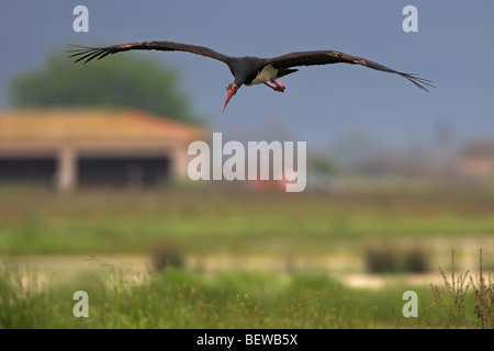 Black Stork (Ciconia nigra) in gliding flight, front view - Stock Photo