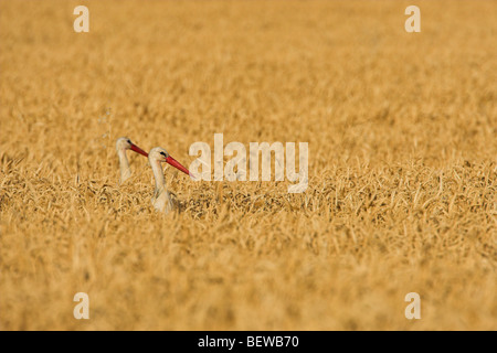 Pair of White Storks (Ciconia ciconia) standing in cornfield, side view with copy space - Stock Photo
