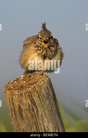 Crested Lark (Galerida cristata) sitting on wooden post, front view - Stock Photo