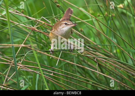 Great Reed Warbler (Acrocephalus arundinaceus) sitting among the reeds - Stock Photo