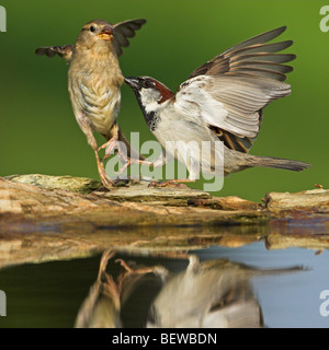 Two House Sparrows (Passer domesticus) playing at the edge of a puddle, close-up - Stock Photo