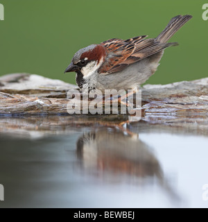 House Sparrow (Passer domesticus) sitting at the waters edge, side view - Stock Photo