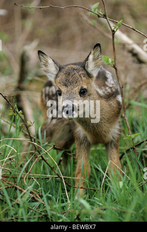 Fawn (Capreolus capreolus) in the undergrowth, Schleswig-Holstein, Germany, eye conatct - Stock Photo
