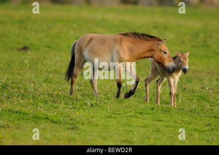 Przewalski horse, Equus ferus przewalskii - Stock Photo
