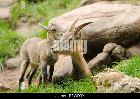Young Alpine Ibex (Capra ibex) with mother animal - Stock Photo
