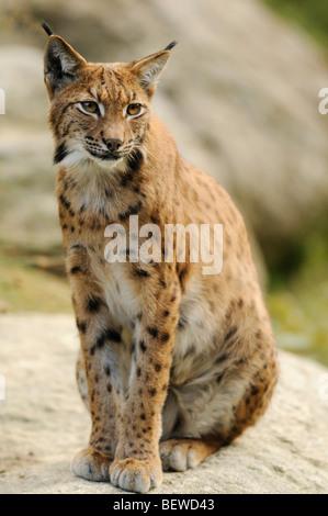 Eurasian Lynx (Lynx lynx) sitting on rock, Bavarian Forest, Germany, full-length - Stock Photo