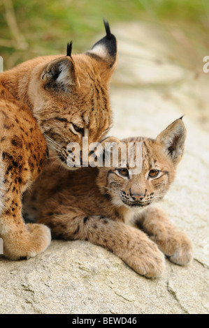 Lynx mother (Lynx lynx) caressing her young, Bavarian Forest, Germany - Stock Photo