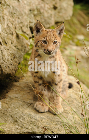 Young Lynx (Lynx lynx) sitting on rock, Bavarian Forest, Germany, front view - Stock Photo