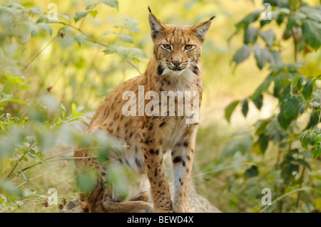 Adult Lynx (Lynx lynx) sitting on rock, Bavarian Forest, Germany, eye contact - Stock Photo