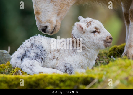 Ewe with new-born lamb in Wales UK - Stock Photo