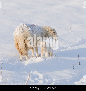 Welsh ewe with lamb in fresh spring snow - Stock Photo