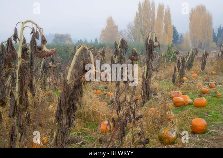 Pumpkins and sunflowers plants in a field, Rasmussen Farms, Hood River, Oregon, USA - Stock Photo