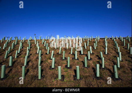 Young Tree sapling planting. Planting on the Haverhill By Pass, Suffolk, Britain. - Stock Photo